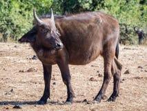 幼小非洲水牛画象与棕色头发和小垫铁, Chobe NP,博茨瓦纳,非洲的 库存图片