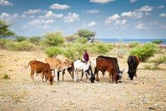 幼小马塞人牧民和牛,坦桑尼亚,非洲 库存图片