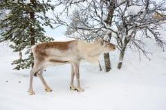 幼小驯鹿在森林在冬天,拉普兰芬兰里 免版税库存照片