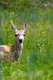 幼小骡子母鹿鹿在加拿大罗基斯 免版税库存图片