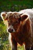幼小高地母牛 免版税库存图片