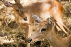 幼小鹿。 免版税图库摄影