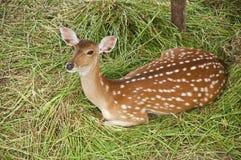 幼小鹿。 免版税库存图片