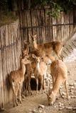 幼小鹿从低谷吃 幼小鹿群吃盐 免版税库存照片