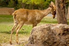 幼小鹿休息他的在树的头 鹿在树附近的森林里 免版税库存照片