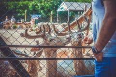 幼小鹿在动物园和人里 免版税图库摄影