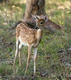 幼小鹿在森林 库存照片