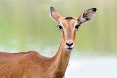 幼小鹿 库存图片
