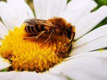 幼小黄蜂 免版税库存图片