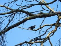 幼小黑乌鸦鸟,立陶宛 免版税库存照片