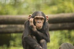 幼小黑猩猩 免版税库存照片