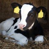 幼小黑白小牛在秸杆在并且看起来机敏 库存图片