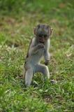 幼小黑长尾小猴 免版税库存照片