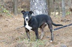 幼小黑,白色和棕色混杂的品种小狗 免版税图库摄影