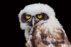 幼小戴了眼镜猫头鹰画象  免版税库存图片