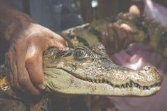 幼小黑凯门鳄的眼睛由密林的当地人夺取了 库存照片
