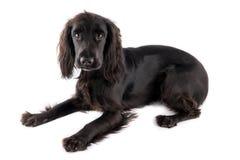 幼小黑猎犬 免版税库存照片
