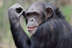 幼小黑猩猩 免版税库存图片