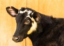 幼小黑白花的母牛在农场 库存照片