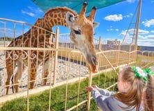 幼小滑稽的长颈鹿和美丽的小女孩动物园的 喂养长颈鹿的小女孩在动物园在天时间 免版税库存照片