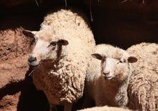 幼小绵羊在小牧场 免版税库存照片