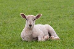 幼小绵羊 免版税库存照片