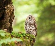 幼小黄褐色的猫头鹰在森林-猫头鹰类aluco里 免版税图库摄影
