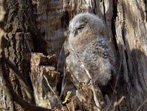 幼小黄褐色的猫头鹰-猫头鹰类Aluco 免版税库存照片