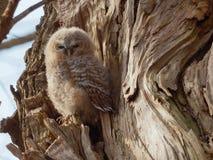 幼小黄褐色的猫头鹰-猫头鹰类Aluco 库存图片