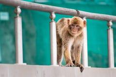 幼小巴贝里猿 免版税库存图片