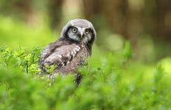 幼小麻雀猫头鹰在森林里 库存图片