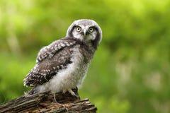 幼小麻雀猫头鹰 库存图片