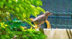 幼小黑鹂在一个庭院里在阳光下 库存图片