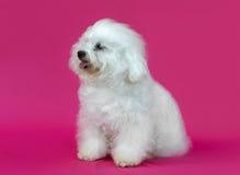 幼小Bichon Frise狗 免版税库存照片