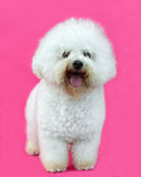 幼小Bichon Frise狗 库存图片