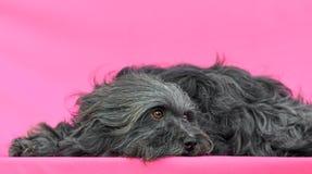 幼小Bichon Havanese狗 库存图片