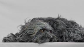 幼小Bichon Havanese狗 免版税库存图片