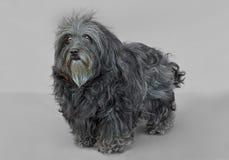 幼小Bichon Havanese狗 库存照片