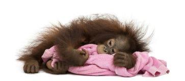 幼小Bornean猩猩疲倦了,说谎和拥抱一块桃红色毛巾 免版税库存照片
