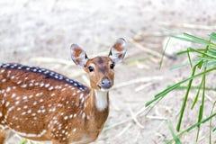 幼小chital或cheetal鹿(轴轴) 库存照片