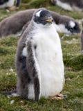 幼小Gentoo企鹅, Pygoscelis巴布亚,志愿点,福克兰群岛-玛尔维娜 免版税图库摄影