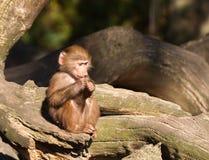 幼小hamadryas狒狒 库存照片