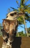 幼小kookaburra鸟在澳大利亚 库存照片