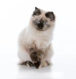 幼小ragdoll猫 免版税库存照片