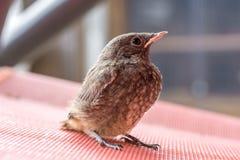 幼小redstart崽在地面附近等待母亲的食物 免版税库存照片