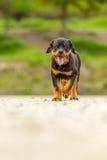 幼小Rottweiler小狗 免版税库存图片