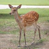 幼小sika鹿 免版税库存照片