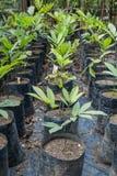 幼木在波哥大植物园里 免版税库存图片