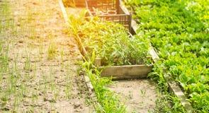 幼木在温室,为种植准备在领域 树苗,茄子,蕃茄,胡椒 农业,种田 Selectiv 免版税库存照片