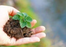 幼木增长的植物在手边 库存照片
